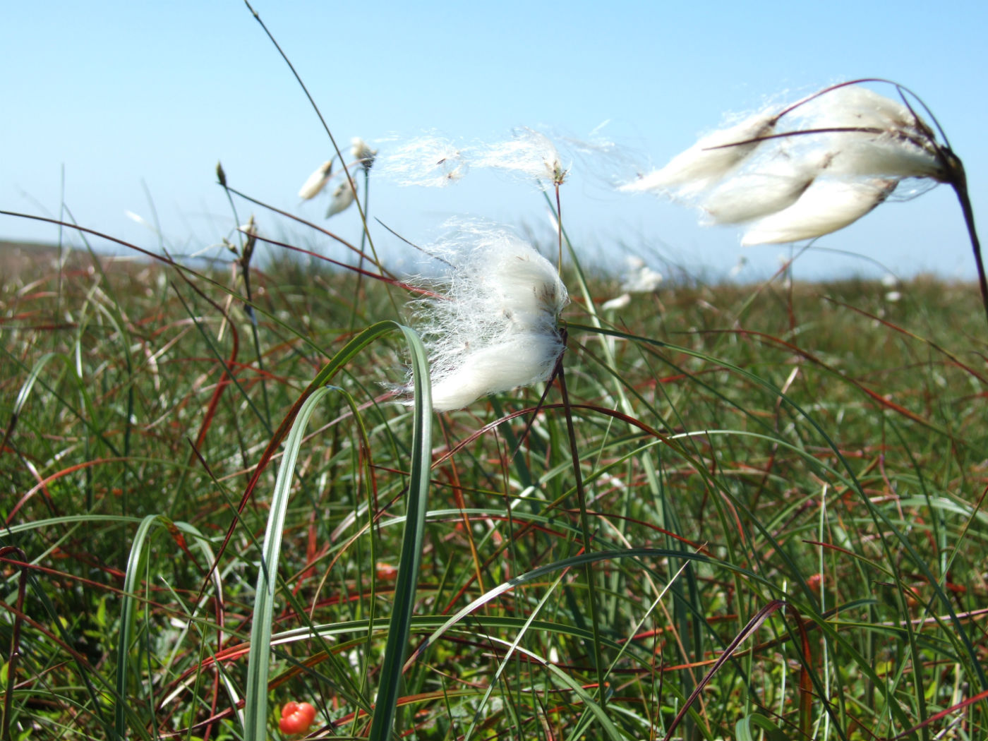 Image of common cotton grass