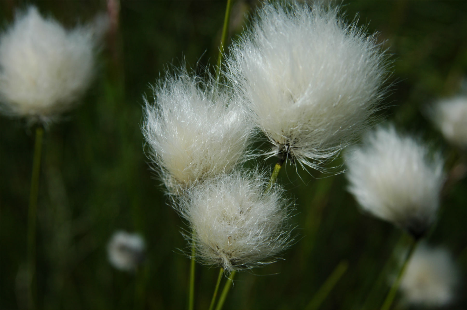 Hares tail cotton grass