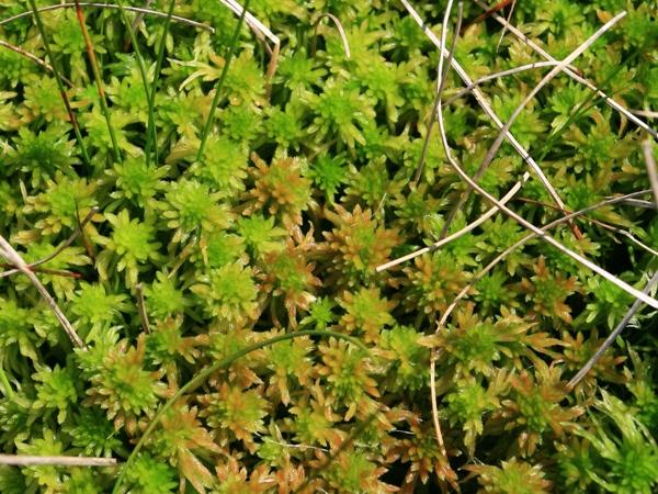 Image of Sphagnum Moss
