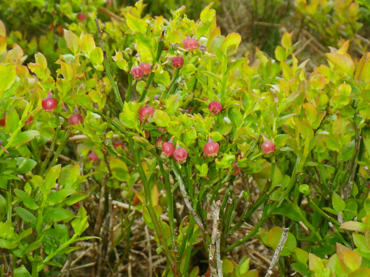 Plant-guide-MoorPLANTS-Factsheet.pdf