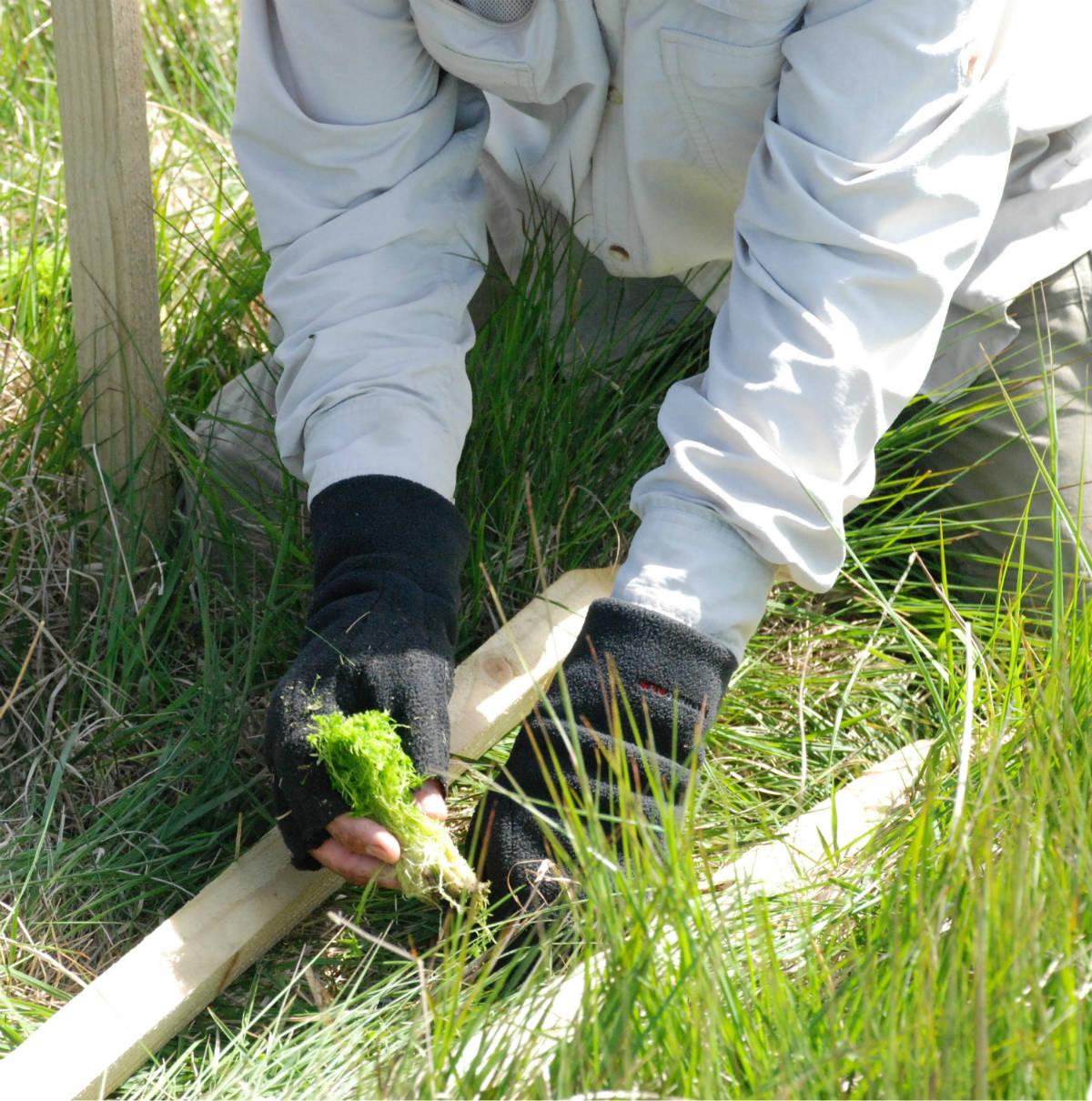 Sphagnum plug planting