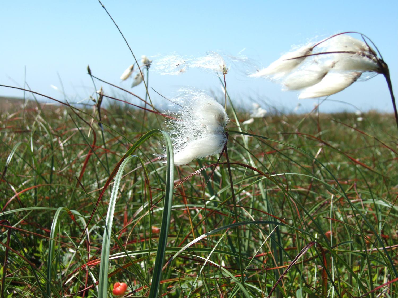 Common cotton grass