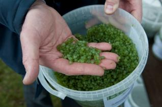 Image of the sphagnum beads that were planted