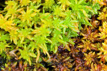 Picture of Sphagnum moss