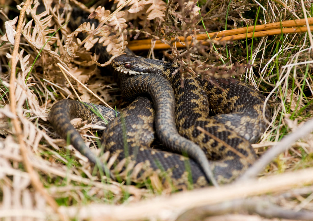 Picture of an adder curled up in the grass