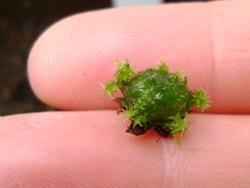 Image of a 3 week old sphagnum bead