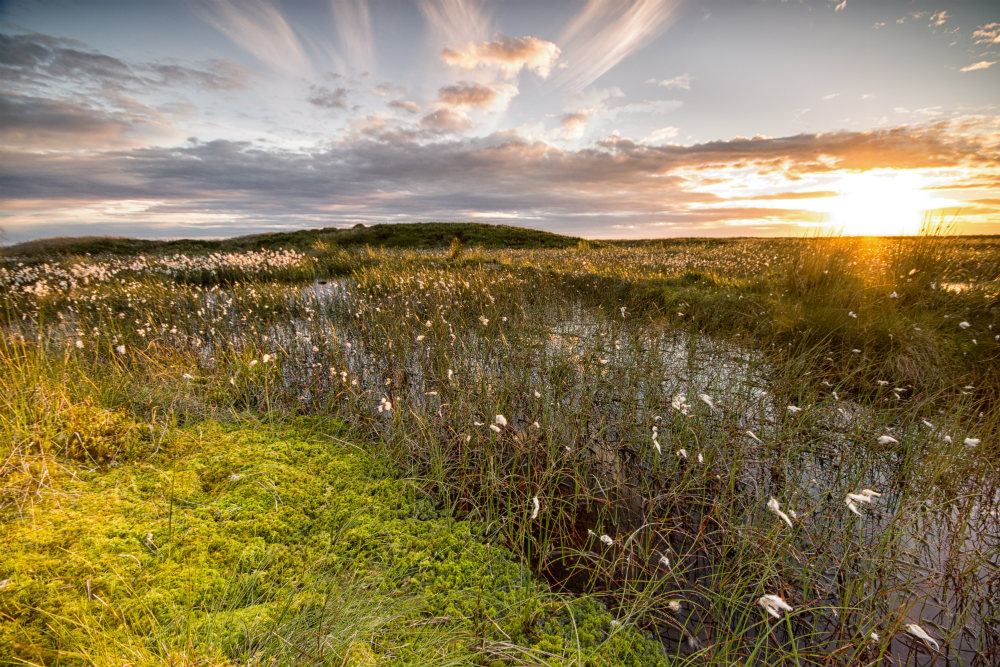Cotton grass sunset