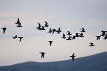 A group of golden plovers mid flight