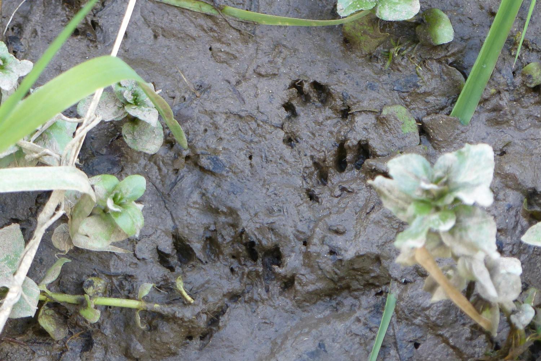 Mink footprints in the mud
