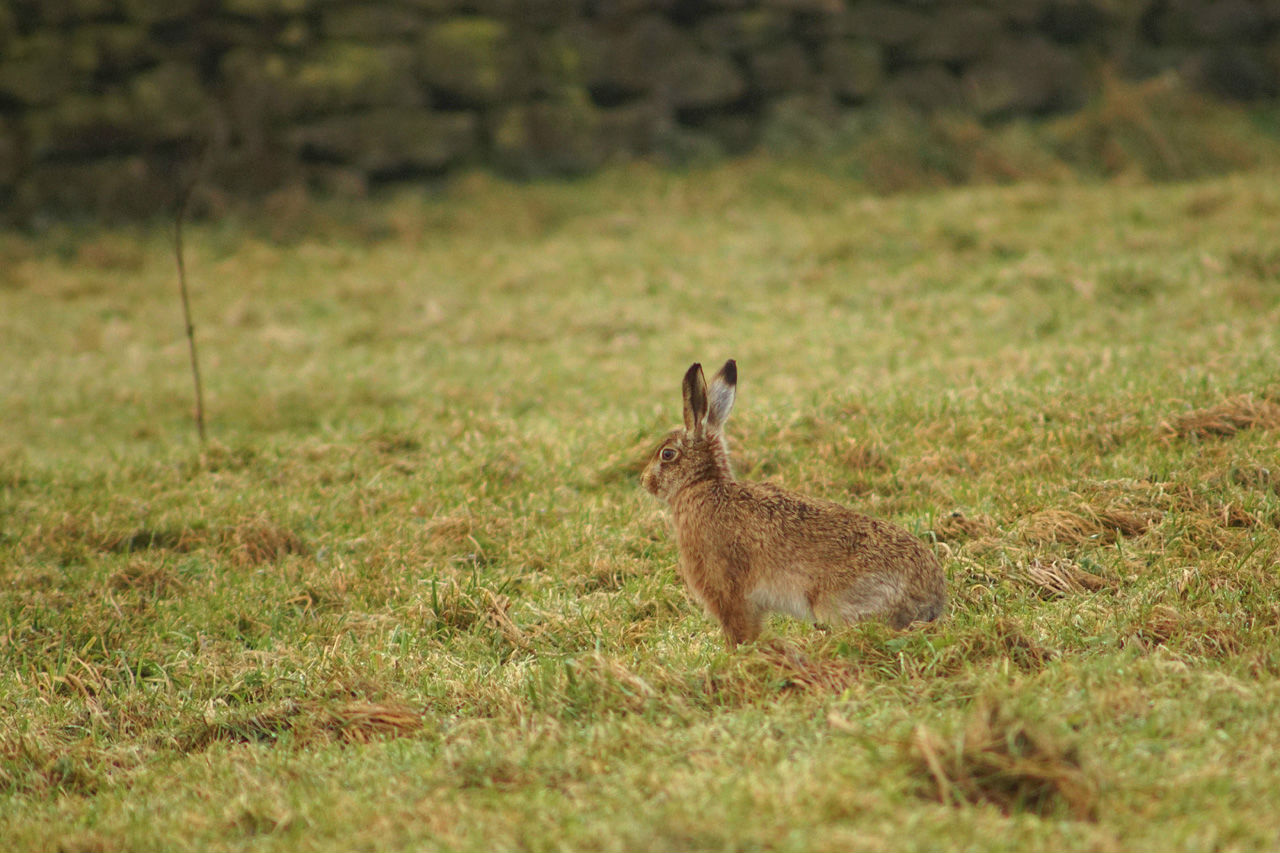 brown hare sat in the grass