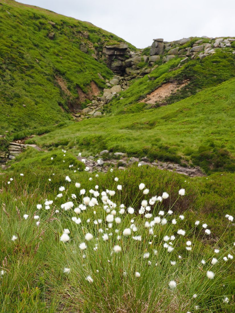 Cotton grass on the hills