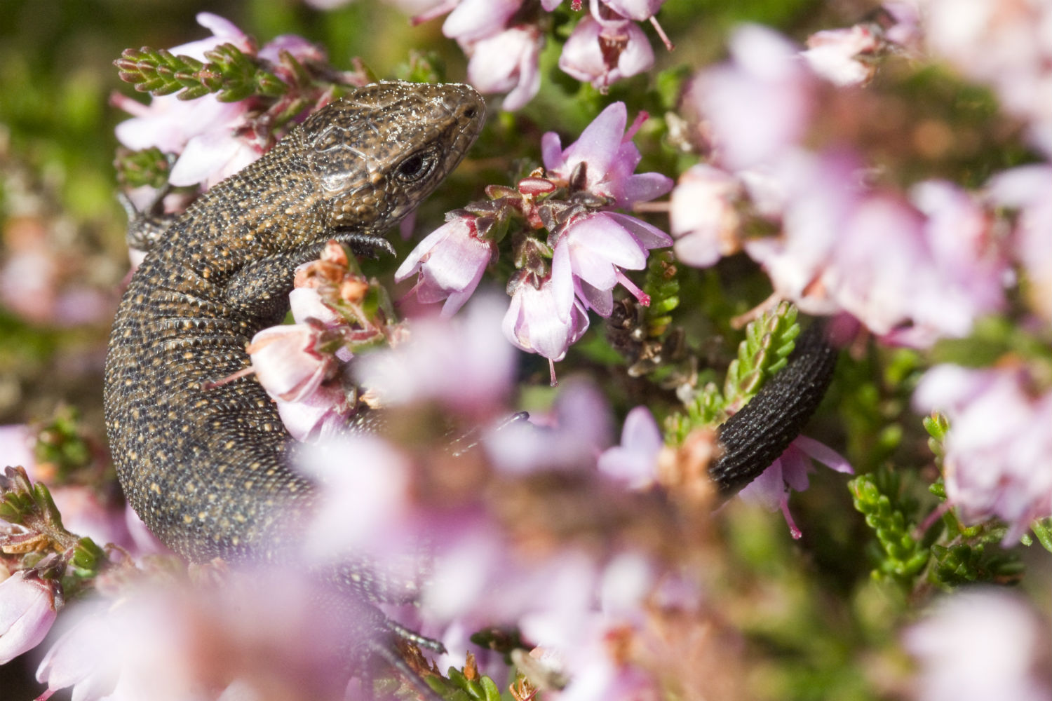 Common Lizard sat within a flowering plant