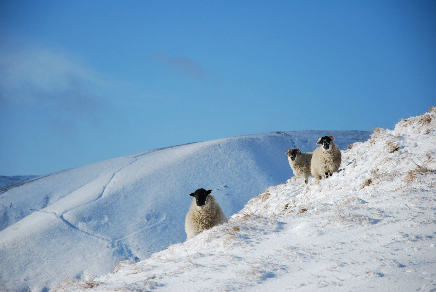 Sheep in the snow Edale