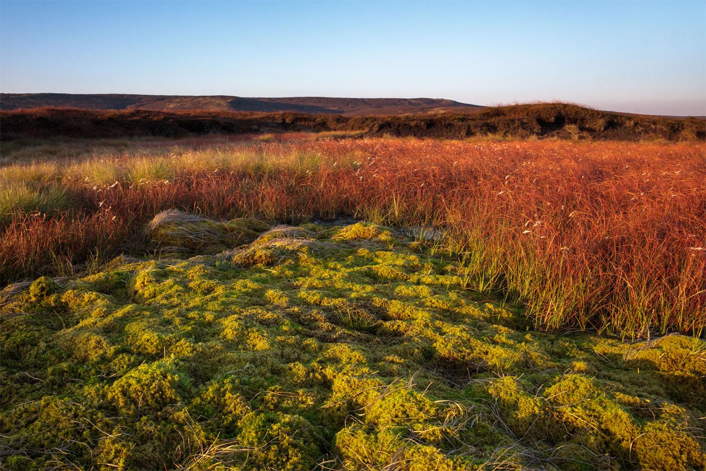 Sphagnum Moss in Moorland, Peak District National Park