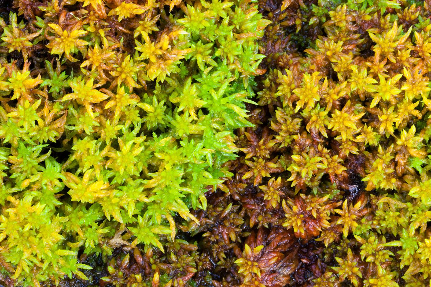 Colourful sphagnum