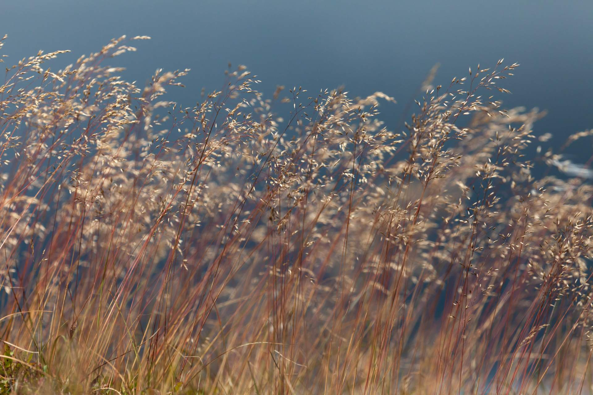 Wavy hair grass