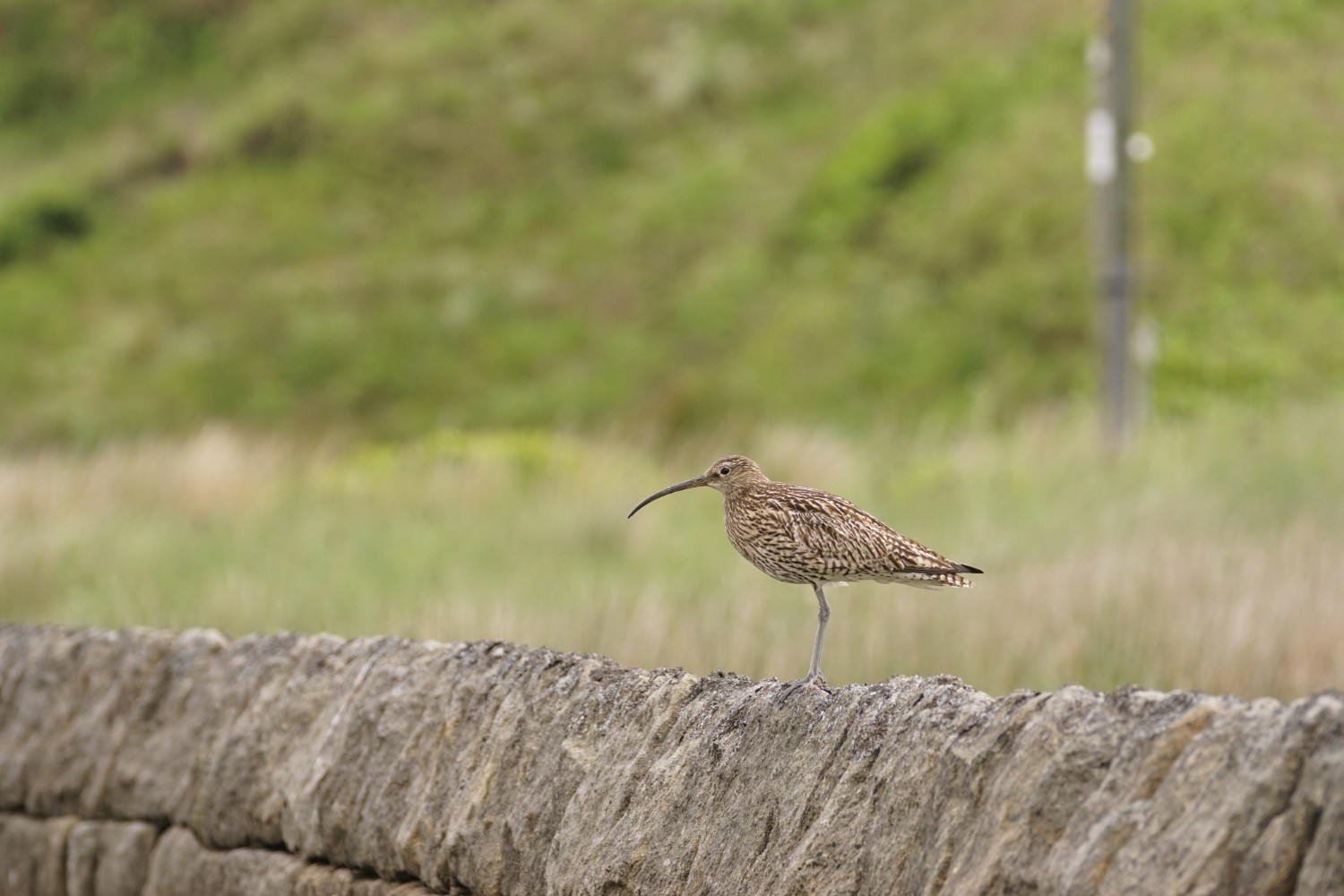Curlew on a stone wall