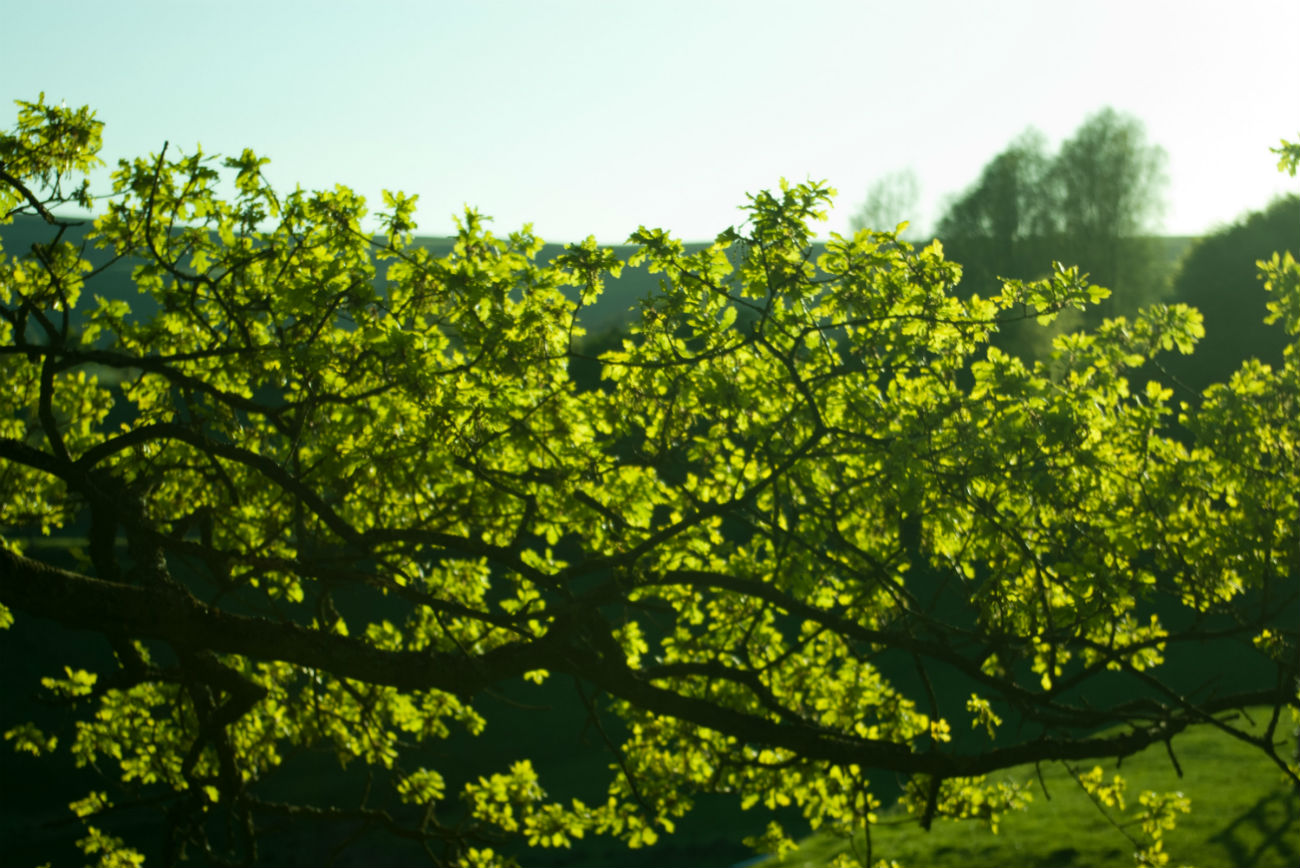 Image of an oak tree full with green leaves