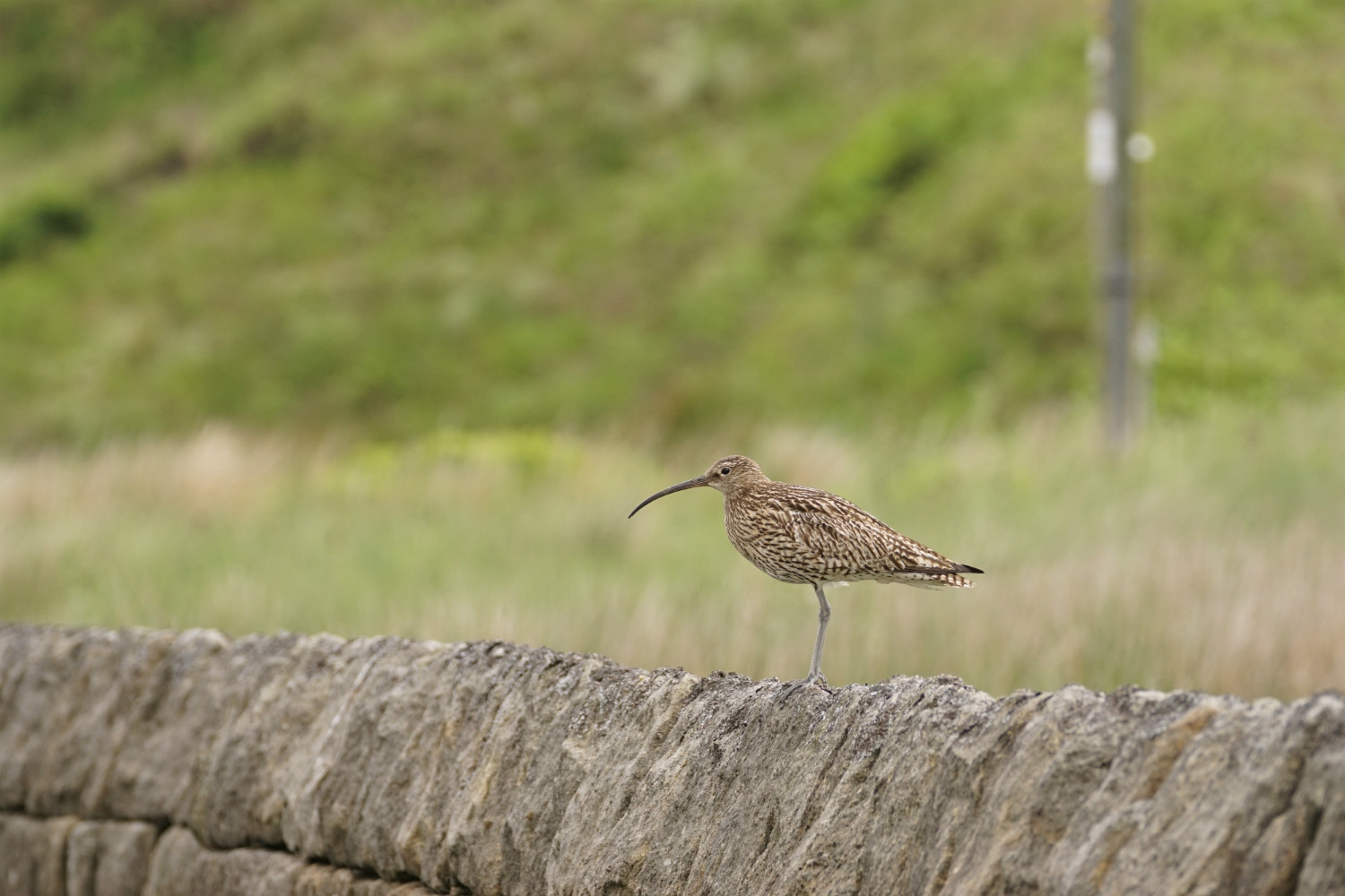 picture of a curlew sat on top of a fence