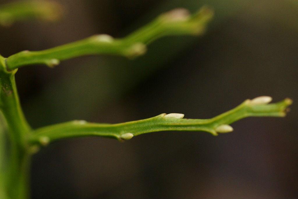 Bilberry stalk